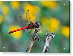 Red Skimmer Acrylic Print by J Scott Davidson