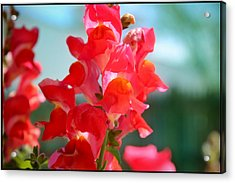 Red Snapdragons I Acrylic Print by Aya Murrells