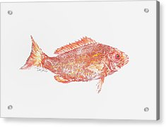 Red Snapper Against White Background Acrylic Print by Nancy Gorr