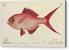 Red Snapper Fish Acrylic Print by Natural History Museum, London/science Photo Library
