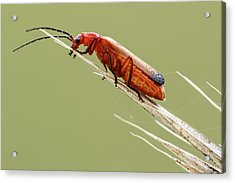 Red Soldier Beetle Acrylic Print