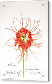 Red Spider-lily Acrylic Print