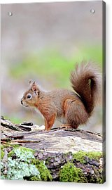 Red Squirrel Acrylic Print by Colin Varndell