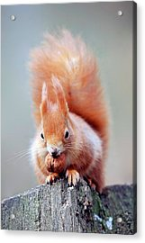 Red Squirrel Eating A Nut Acrylic Print by Bildagentur-online/mcphoto-schulz