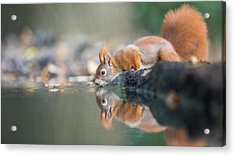 Red Squirrel Acrylic Print by Erik Willaert