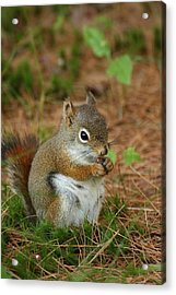 Red Squirrel In Acadia National Park Acrylic Print by Acadia Photography