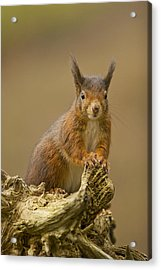 Acrylic Print featuring the photograph Red Squirrel by Paul Scoullar