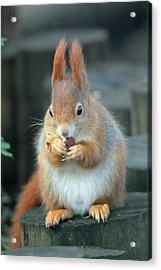 Red Squirrel With A Nut Acrylic Print by Martyn Bennett