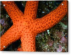 Red Starfish Echinaster Sepositus On A Rock Acrylic Print by Sami Sarkis