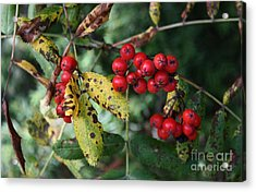 Red Summer Berries - Whistler Acrylic Print by Amanda Holmes Tzafrir