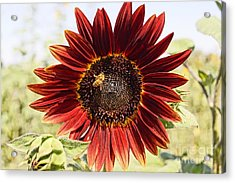 Red Sunflower And Bee Acrylic Print