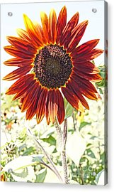Red Sunflower Glow Acrylic Print by Kerri Mortenson