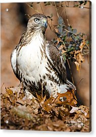 Red Tail Daze Acrylic Print