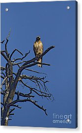 Red-tail Hawk   #0622 Acrylic Print by J L Woody Wooden