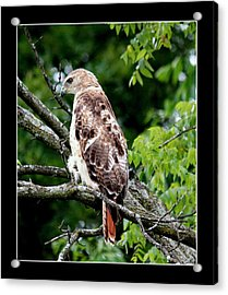 Red Tail Hawk 1 Acrylic Print by Rosanne Jordan