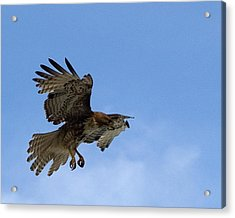 Red Tail Hawk Acrylic Print by Bill Gallagher