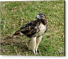 Red Tail Hawk Acrylic Print by Christy Ricafrente