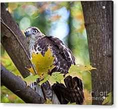 Acrylic Print featuring the photograph Red Tail Hawk Closeup by Eleanor Abramson