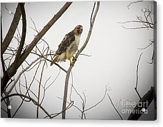 Red Tail Hawk Acrylic Print by Cris Hayes