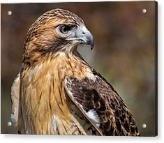 Red Tail Hawk Acrylic Print by Dale Kincaid