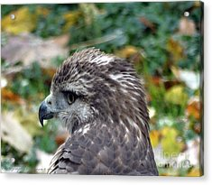 Red Tail Hawk Head Shot Acrylic Print