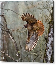 Red-tail Hawk In Flight Acrylic Print by Angie Vogel