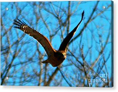 Acrylic Print featuring the photograph Red Tail Hawk In Flight by Peggy Franz