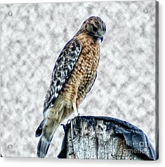 Red Tail Hawk Looking Down Acrylic Print