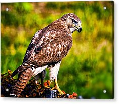 Red Tail Hawk Acrylic Print by Michael Toy