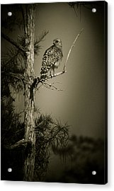 Red Tail Hawk On Loop Road Acrylic Print