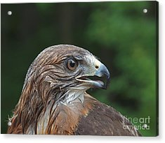 Red Tail Hawk Rain Acrylic Print by Peter Gray