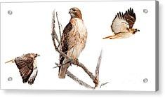 Red Tail Hawk Series Acrylic Print