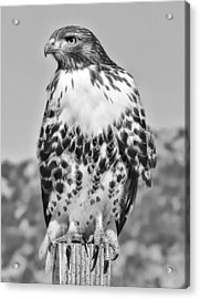 Red Tail Hawk Youth Black And White Acrylic Print by Jennie Marie Schell