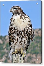 Red Tail Hawk Youth Acrylic Print by Jennie Marie Schell