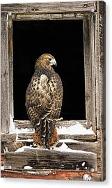 Red Tail Acrylic Print