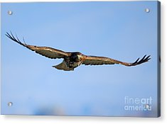 Red -tail Stare Acrylic Print