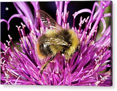 Red-tailed Bumblebee On Knapweed Acrylic Print by Bob Gibbons