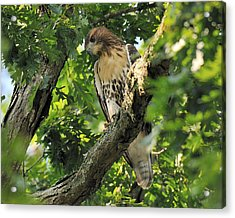 Red Tailed Hawk Acrylic Print by Angel Cher