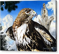 Da141 Red Tailed Hawk By Daniel Adams Acrylic Print