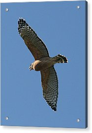 Red Tailed Hawk Acrylic Print by Jeff Wright