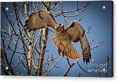 Red Tailed Hawk Acrylic Print by Julie Palencia