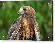 Red-tailed Hawk Close-up Acrylic Print