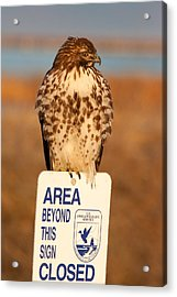 Red Tailed Hawk Lower Klamath National Wildlife Refuge Northern California Acrylic Print by Ram Vasudev