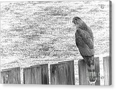 Red Tailed Hawk  Acrylic Print by Olivier Le Queinec