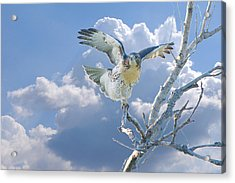 Red-tailed Hawk Pirouette Pose Acrylic Print by Roy Williams