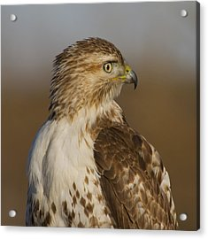 Red-tailed Hawk Portrait Acrylic Print