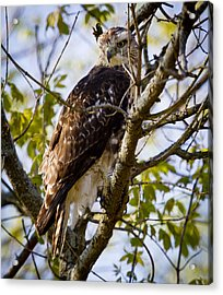 Acrylic Print featuring the photograph Red Tailed-hawk by Ricky L Jones