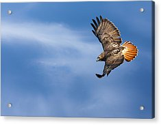 Red Tailed Hawk Soaring Acrylic Print by Bill Wakeley