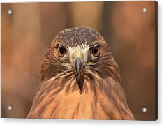 Red-tailed Hawk Stare Acrylic Print
