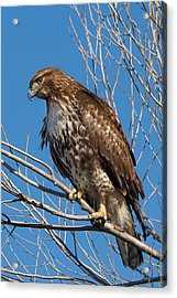 Red-tailed Hawk Watching The Ducks Acrylic Print